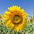 amarelo · campo · girassóis · brilhante · blue · sky · nuvens - foto stock © mycola