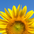 part of sunflower and blue sky stock photo © mycola