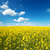 flowers of oil rape in field with blue sky and clouds stock photo © mycola