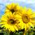 подсолнухи · пейзаж · горизонтальный · выстрел · красивой · подсолнечника - Сток-фото © mycola