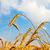 mező · arany · fülek · búza · naplemente · égbolt - stock fotó © mycola