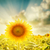 sunflower closeup and sunset stock photo © mycola