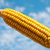 ripe maize close up under cloudy sky stock photo © mycola