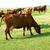 marrom · vacas · alimentação · grama · grama · verde · cara - foto stock © mycola