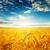 dramático · céu · campo · dourado · colheita · paisagem - foto stock © mycola