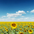 girasoli · verde · campo · nubi · cielo · blu · primavera - foto d'archivio © mycola