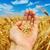 altın · hasat · el · alan · gökyüzü · gıda - stok fotoğraf © mycola