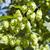 green hops stock photo © mycola