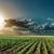 primavera · campo · verde · girassóis · nublado · céu - foto stock © mycola