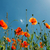 veld · klaprozen · zon · blauwe · hemel · hemel · wolken - stockfoto © mycola