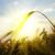sunset on field at summer ears of wheat sun against stock photo © mycola