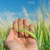 green ear of wheat in hand stock photo © mycola