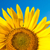 part of sunflower as background stock photo © mycola