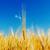 зрелый · пшеницы · красивой · Blue · Sky · желтый · области - Сток-фото © mycola