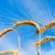 ушки · зрелый · пшеницы · солнце · небе · облака - Сток-фото © mycola