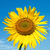 beautiful sunflower on field with clouds stock photo © mycola