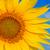 part of sunflower stock photo © mycola