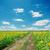 области · зеленый · подсолнухи · облачный · небе · трава - Сток-фото © mycola