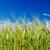 campo · grama · verde · profundo · blue · sky · agrícola · nuvens - foto stock © mycola