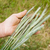 hand with green ears of rye stock photo © mycola