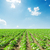 veld · begin · zonnebloemen · boerderij · blauwe · hemel · voorjaar - stockfoto © mycola