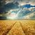 dramatic sky over golden field stock photo © mycola