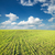 field of green grass and blue sky stock photo © mycola