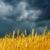 altın · alan · yağmur · gökyüzü · manzara · yaz - stok fotoğraf © mycola