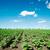 blue · sky · campo · pequeno · verde · girassóis · primavera - foto stock © mycola