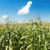 зеленый · фермы · Blue · Sky · белый · облака · красивой - Сток-фото © mycola