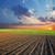 agricultural field and sunset stock photo © mycola