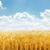 dourado · campo · de · trigo · blue · sky · sol · branco · nuvens - foto stock © mycola