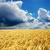 trigo · dramático · céu · estrada · campo · ouro - foto stock © mycola
