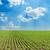 verde · girassóis · campo · jovem · floresta · céu - foto stock © mycola