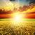 jó · naplemente · arany · aratás · puha · fókusz - stock fotó © mycola