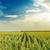 primavera · campo · verde · girasoli · nuvoloso · cielo - foto d'archivio © mycola
