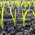 green shots of garlic under sun rays stock photo © mycola