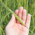 green wheat in hand stock photo © mycola