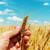 çiftçiler · mısır · alan · mavi · gökyüzü · üretmek - stok fotoğraf © mycola
