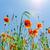 veld · klaprozen · zon · blauwe · hemel · bloem · zonsondergang - stockfoto © mycola