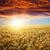 области · золото · ушки · пшеницы · закат · небе - Сток-фото © mycola
