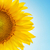 part of sunflower sun against stock photo © mycola