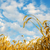 golden wheat ears with blue sky over them south ukraine stock photo © mycola