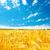 gouden · oogst · veld · blauwe · hemel · natuur · zomer - stockfoto © mycola