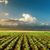 agriculture green field on sunset stock photo © mycola