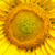 central part of sunflower closeup stock photo © mycola
