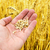 gold harvest in hand over field stock photo © mycola