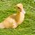 カモ · 小 · 鶏 · 白 · スタジオ · 背景 - ストックフォト © mycola
