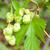 hop · laisse · feuille · objet · fleur · naturelles - photo stock © mycola
