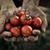 томатный · урожай · лет · растительное · саду · садовник - Сток-фото © mythja